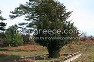Δέντρο Ίταμος Σιθωνίας